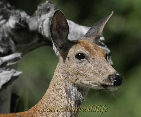 White-tailed_Deer_6868x.jpg