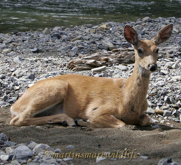 White-tailed_Deer_6883ax.jpg