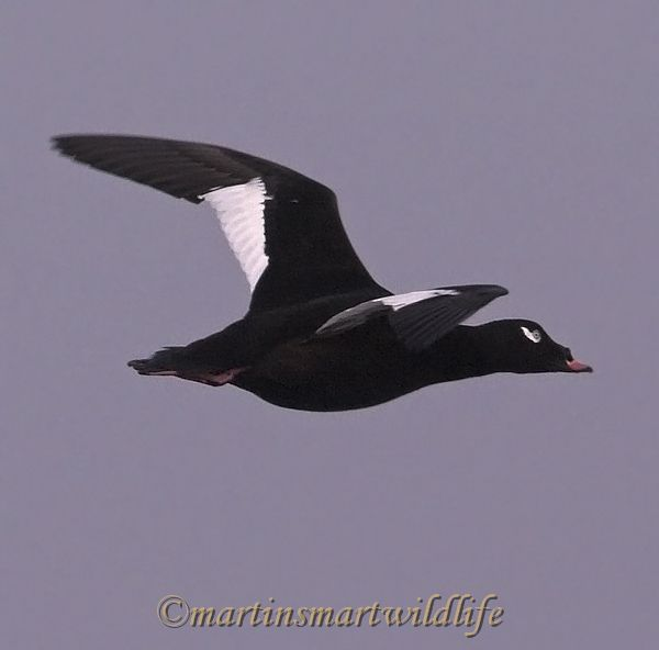 White-winged_Scoter_2338bx.jpg