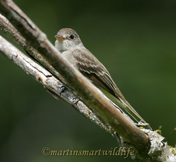 Willow_Flycatcher_5199x.jpg