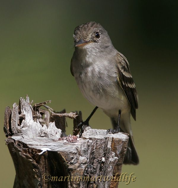 Willow_Flycatcher_6591x.jpg