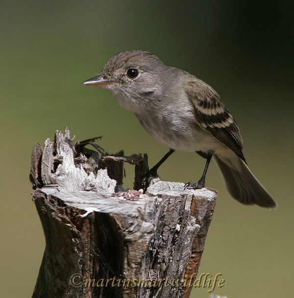 Willow_Flycatcher_6594x.jpg