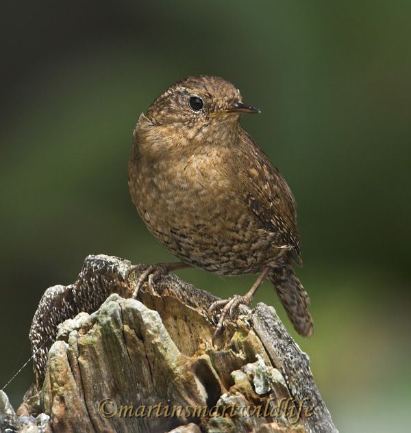 Winter_Wren_5787x.jpg