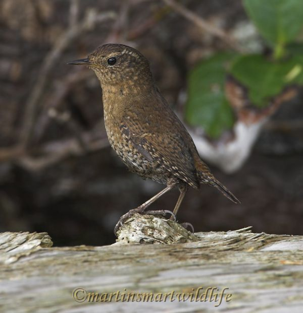 Winter_Wren_5807x.jpg