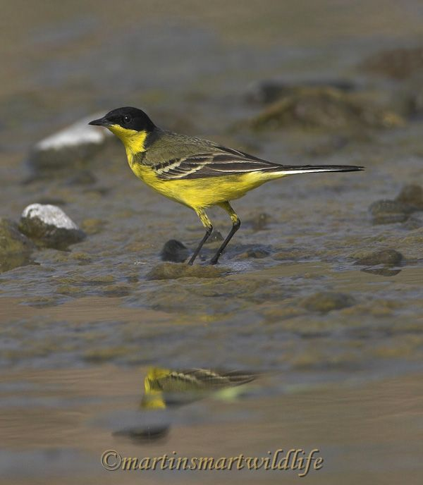 Yellow_Wagtail_3022cx.jpg